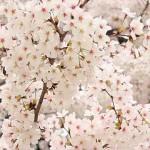 花見で京都のおすすめの穴場スポットはココ!デートも格別!