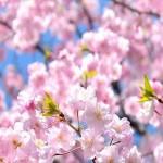 花見で大阪のおすすめ穴場スポットはココ!デートにも最高!
